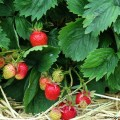 erdbeeren-pflanzen