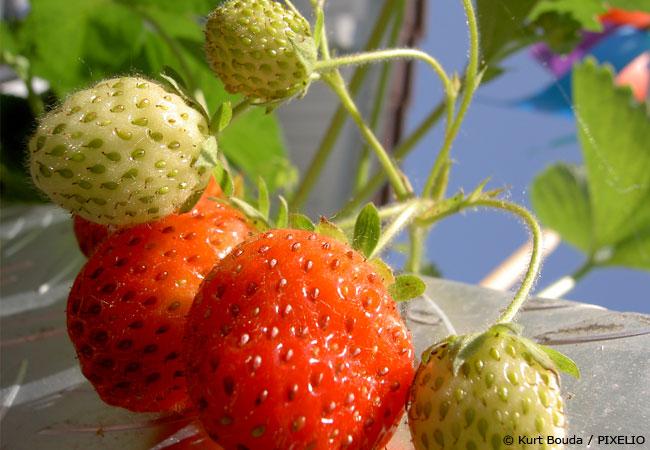 erdbeeren-pflege