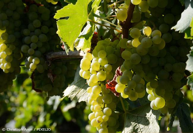 Geliebte Weinreben pflanzen – Süße Trauben aus dem eigenen Garten - Garten #WC_98
