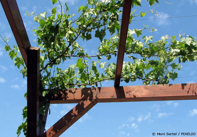 Atemberaubend Weinreben pflanzen – Süße Trauben aus dem eigenen Garten - Garten #CR_63