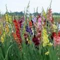 gladiolen-pflanzen