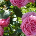 rosen-richtig-schneiden