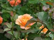 wann-rosen-schneiden