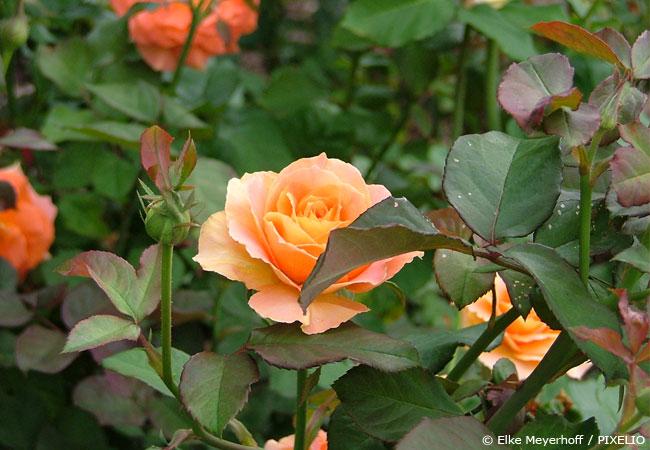Rosen Schneiden Wann : wann rosen schneiden ansteht garten hausxxl garten hausxxl ~ Eleganceandgraceweddings.com Haus und Dekorationen