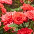 was hilft gegen rosenkrankheiten garten hausxxl