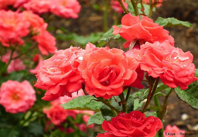 Mehltau an Rosen