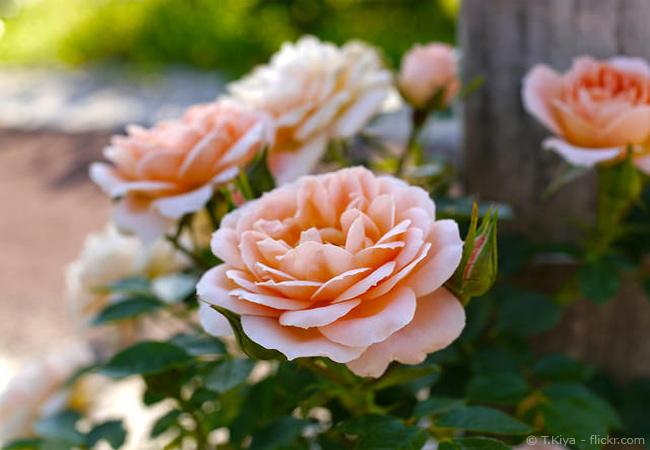 Mehltau bei Rosen