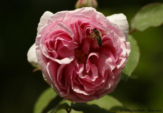 Mehltau auf Rosen