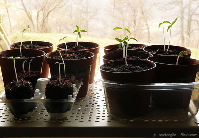 tomaten ziehen f r anf nger 5 schritte zum erfolg. Black Bedroom Furniture Sets. Home Design Ideas