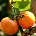 Tomaten ziehen