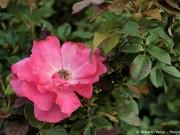 blattlaeuse-rosen-bekaempfen