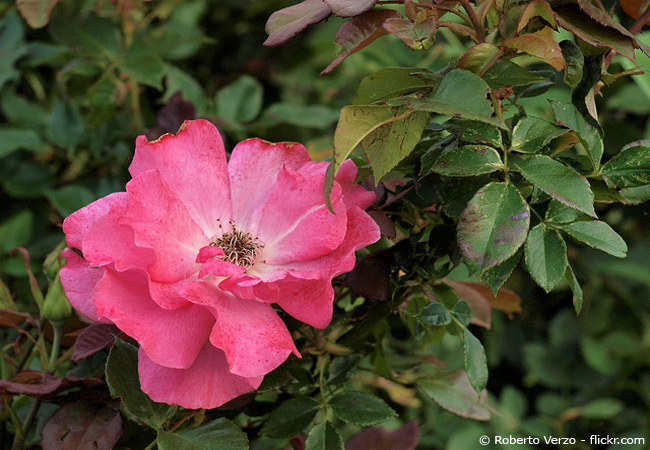 Fabelhaft Blattläuse an Rosen natürlich bekämpfen – Das kann man tun &RO_68