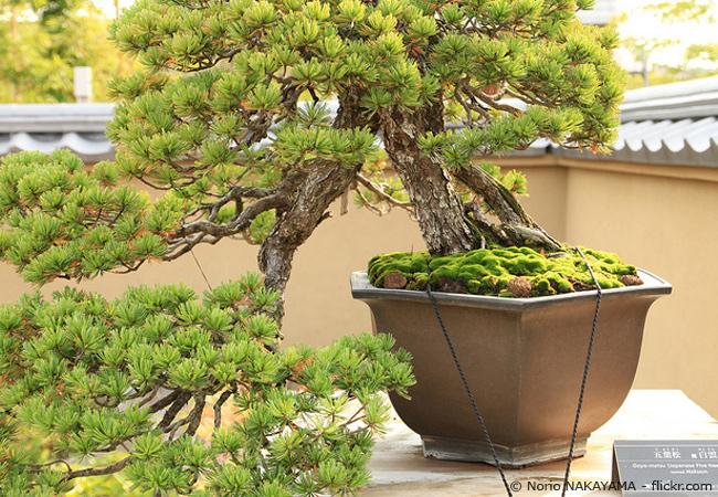 Prächtiger Gartenbonsai