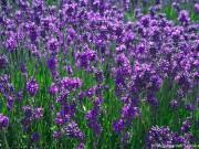 lavendel-schneiden