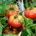 tomaten-anbauen