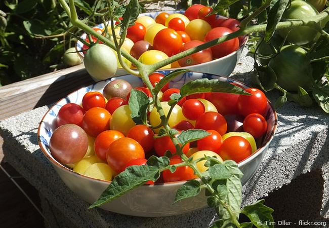 Anbau einer Tomate