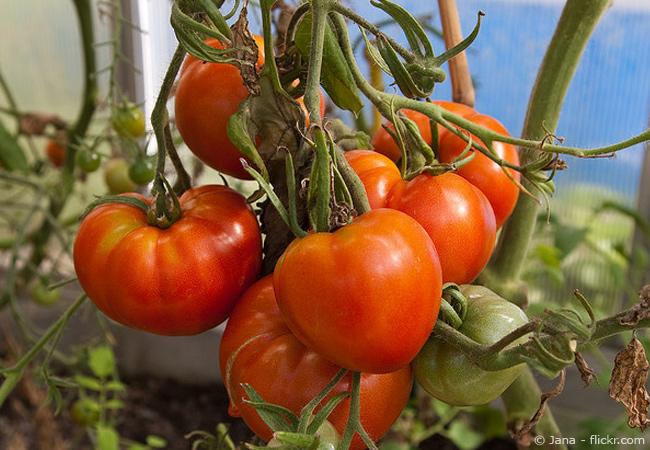 Tomatenanbau im eigenen Garten