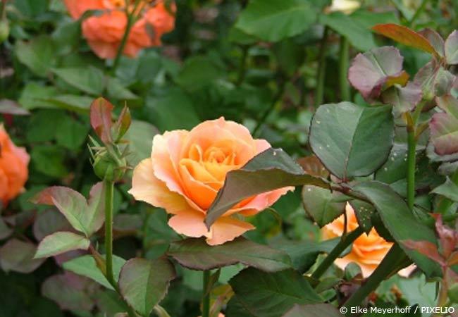 Eine Rose ohne Krankheitssymptome
