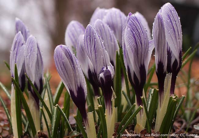 Blumenzwiebeln pflanzen