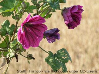 Heilpflanzen Wirkung: Malve
