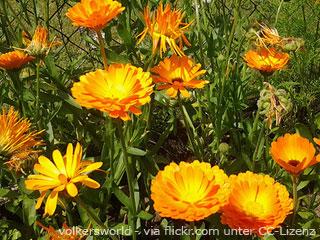 Heilkräuter Wirkung: Ringelblume
