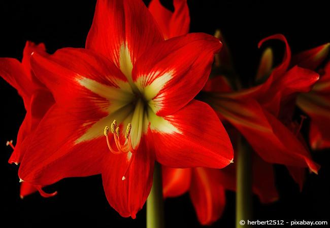 Die Amaryllis ist eine beliebte Blühpflanze