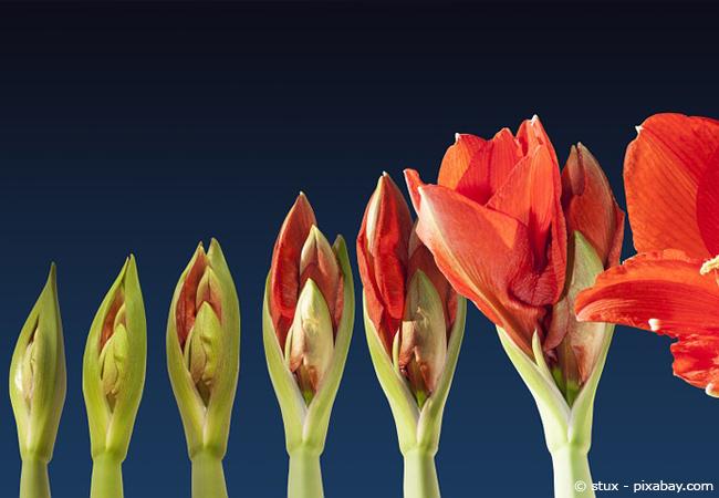 Der optische Blühverlauf der Amaryllis