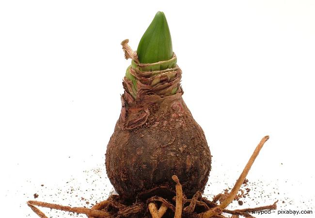 So sieht die Zwiebel einer Amaryllis aus