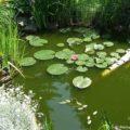 Die richtige Teichpflege im Sommer
