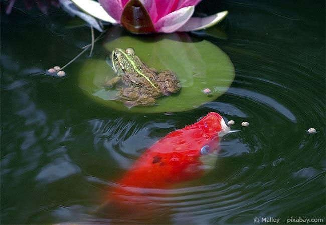 Teichpflege Fische
