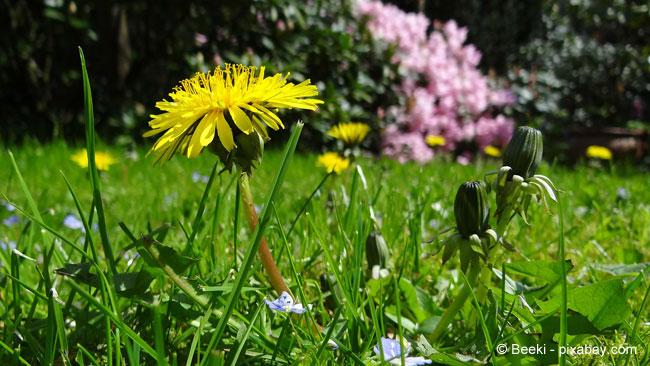 Robuster Rasen mit wilden Blumen