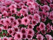 chrysantheme-herbst