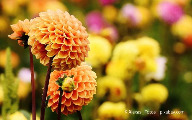 Imposante Blüten - auch zur Herbstzeit