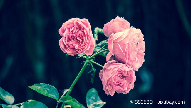 Rosen sollten fachmännisch verschnitten werden