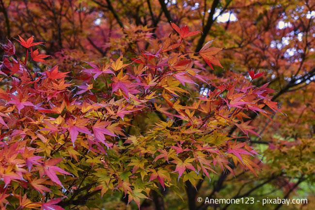 Fächerahorn im japanischen Garten