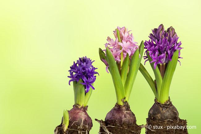 Hyazinthen blühen in der Regel erst ab April