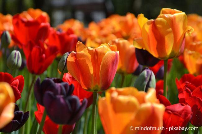 Tulpen sorgen für eine wunderbare Farbenpracht in Ihrem Garten