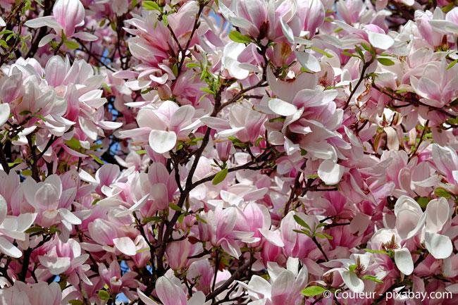 Fast so beeindruckend wie die Kirschbaumblüte: Die Tulpen-Magnolie