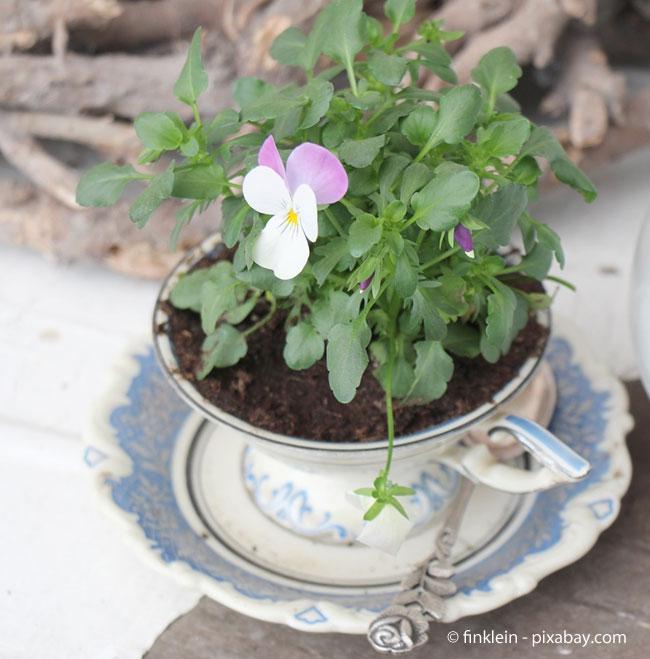 Hornveilchen: Die ideale Deko-Pflanze im Frühling