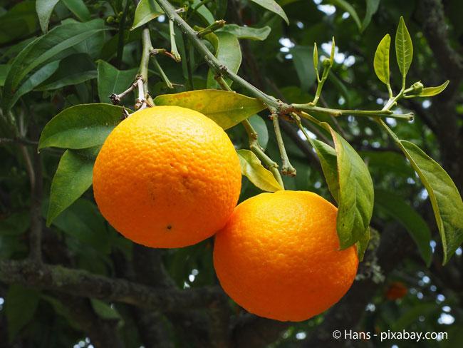 Einen Orangenbaum sollten Sie nicht vor Mai ins Freie stellen