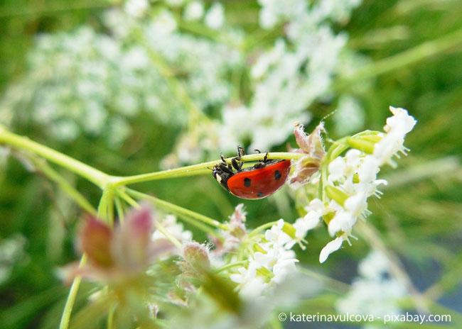 Auch wenn es auf den ersten Blick nicht den Anschein macht: Der Marienkäfer ist ein echter Vielfraß