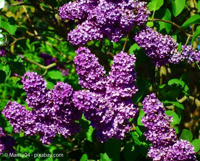 Der Flieder Duftender Fruhlingsbote Garten Hausxxl Garten