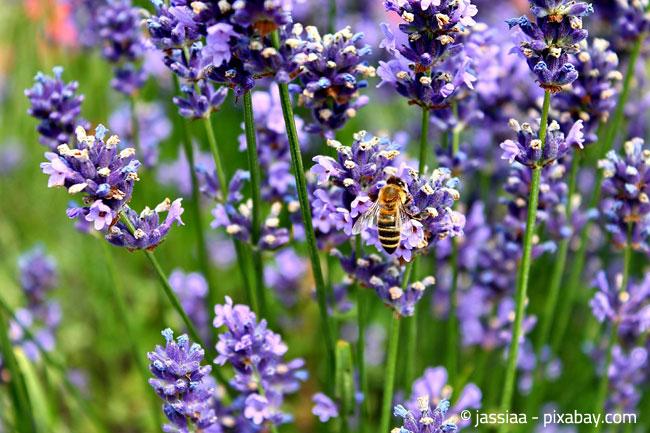 Schönheit und Nutzen zugleich: Insekten lieben Lavendel