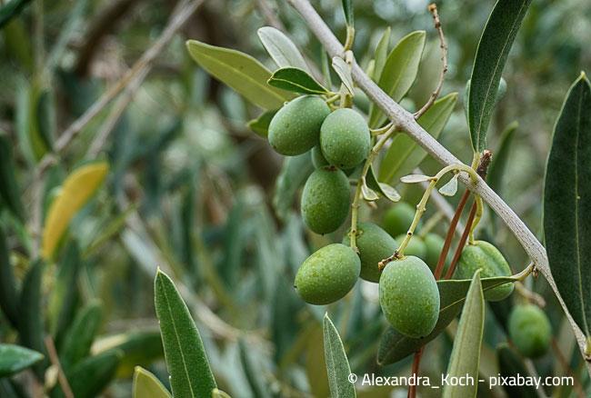 Die Auswahl des Standorts für einen Olivenbaum sollte gut durchdacht sein