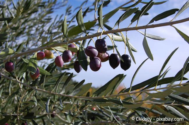 Es gibt auch Olivenbäume, die kühlere Witterungen gewöhnt sind.