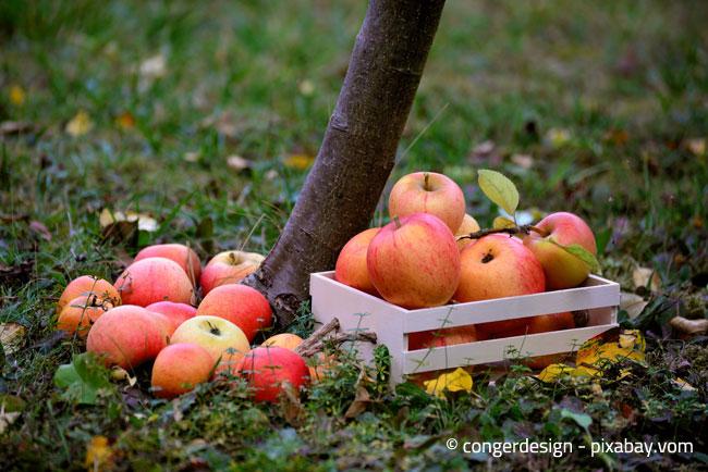 Die richtige Lagerung beim Ernten von Äpfeln ist wichtig, um Druckstellen zu vermeiden