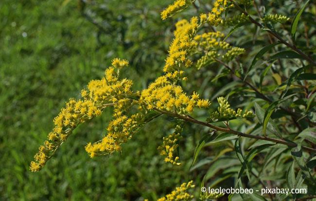 Goldrute: Farbenfroh und auch im Herbst noch ein echter Hingucker