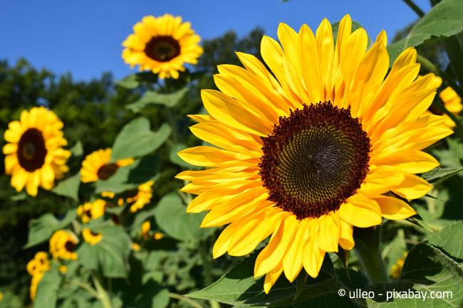 Sonnenblumen: Nicht nur im Sommer schön anzusehen