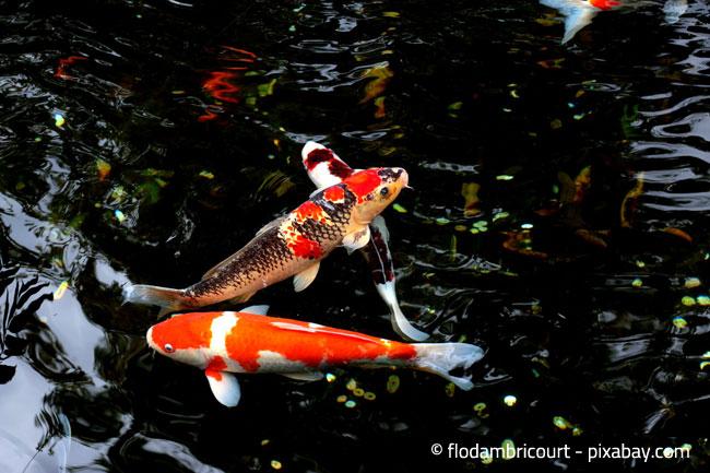 Denken Sie auch an die Fische im Teich, damit diese gut über den Winter kommen