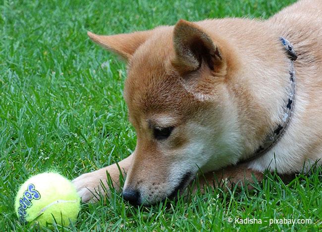 Ein Garten ist immer toll für einen Hund. Achten Sie aber auch hier auf die nötige Sicherheit.